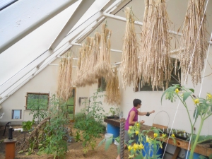 Wheat drying in the solar-powered greenhouse