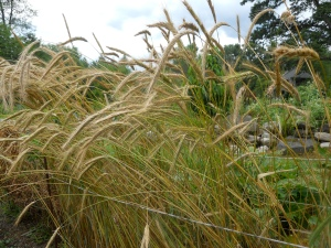 Perennial Rye
